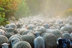 Troupeau-de-moutons-002.jpg