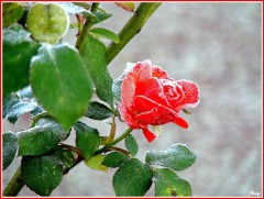 2-rose-givre.jpg